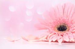 关闭桃红色瓣大丁草花、软性和有选择性的focu 库存图片