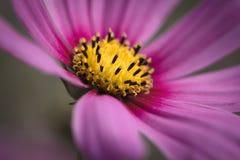 关闭桃红色花波斯菊生动的口气 库存图片