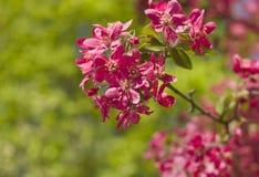 关闭桃红色苹果开花在春天 图库摄影