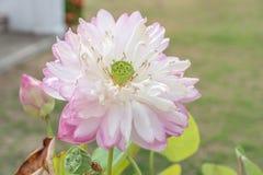 关闭桃红色莲花用种子荚 库存照片