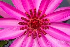 关闭桃红色莲花的图象 库存照片