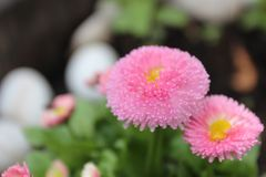 关闭桃红色雏菊的图象 库存图片