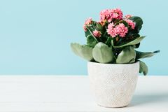 关闭桃红色kalanchoe花看法在花盆的在蓝色隔绝的木桌面 库存图片