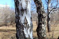 关闭桦树 吠声桦树关闭树干 免版税库存照片
