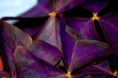 关闭棒翼黑暗的紫色植物 库存照片