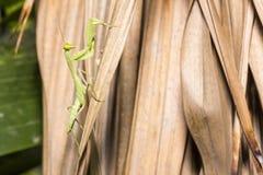 关闭棕色叶子的美好和健康绿色螳螂攀登 免版税库存照片