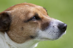 关闭棕色和白色狗狗头 免版税图库摄影