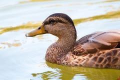 关闭棕色女性野鸭鸭子游泳 免版税库存图片
