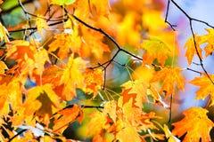 关闭槭树在秋天季节离开 库存图片
