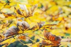 关闭槭树照片与黄色叶子的 库存图片