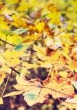 关闭槭树,红色过滤器照片与黄色叶子的 免版税库存图片