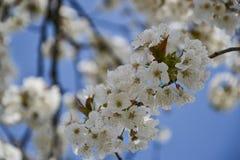关闭樱桃树分支开花的花在春天的 浅深度的域 樱花细节在晴天 免版税库存照片