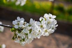关闭樱桃树分支开花的花在春天的 浅深度的域 樱花细节在晴天 免版税图库摄影