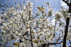 关闭樱桃树分支开花的花在春天的 浅深度的域 樱花细节在晴天 库存图片