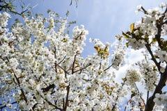 关闭樱桃树分支开花的花在春天的 浅深度的域 樱花细节在晴天 免版税库存图片