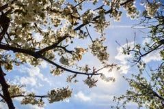关闭樱桃树分支开花的花在春天的 浅深度的域 樱花细节在晴天 图库摄影
