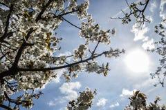 关闭樱桃树分支开花的花在春天的 浅深度的域 樱花细节在晴天 库存照片