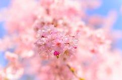 关闭樱花在大阪城公园,日本 免版税库存图片