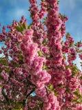 关闭樱花, sacura,布鲁克林, NY 图库摄影