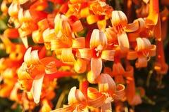 关闭橙色喇叭,火焰花,爆竹藤 免版税库存图片