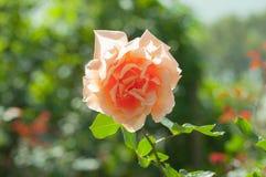 关闭橙色玫瑰在庭院里 库存照片