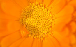 关闭橙色花 库存图片