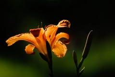 关闭橙色黄花菜在阳光下 免版税库存图片
