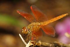 关闭橙色蜻蜓在庭院泰国里 图库摄影