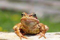 关闭欧洲共同的青蛙 图库摄影