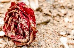 关闭死的罗斯,红色在颜色,全部干和说谎在海滩,当干燥瓣被盖在沙子 象在坟墓的玫瑰 免版税库存图片