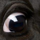 关闭母牛眼睛黑白花牛  免版税图库摄影