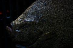 关闭比目鱼或异体类在格栅, Scophthalmus maximus 库存照片