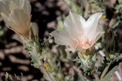关闭沙子多种花色鲜明之植物绽放在约书亚树 库存图片