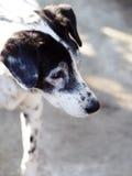 关闭没有纯血统一条黑白达尔马希亚的狗 免版税库存照片
