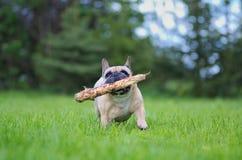 关闭法国牛头犬的画象 库存图片