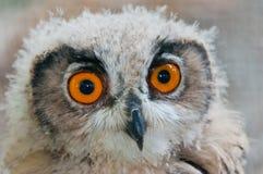 关闭注视猫头鹰  免版税库存图片