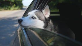 关闭注视着从移动的汽车窗口的美丽的西伯利亚爱斯基摩人狗晴天 家畜棍子 股票录像