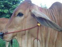 关闭泰国母牛 免版税库存照片