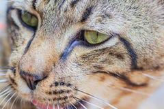 关闭泰国猫的面孔 免版税库存图片