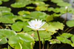 关闭浪端的白色泡沫百合在池塘 免版税库存照片