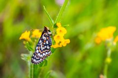 关闭海湾Checkerspot蝴蝶Euphydryas editha bayensis;分类作为一个联邦被威胁的种类,南部圣 免版税库存照片