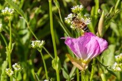 关闭涌现从一朵得克萨斯桃红色晚上/华丽的报春花野花的蜂蜜蜂 免版税图库摄影