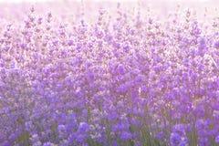 关闭淡紫色花在日出光下 免版税库存照片