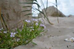 关闭淡紫色花细节视图在海滩的与岩石并且铺沙在背景中 图库摄影