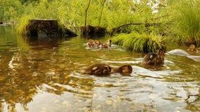关闭游泳在水中大小组野生鸟的年轻鸭子小鸡 低头用在漂浮的步行的鸭子,鸭子  股票视频