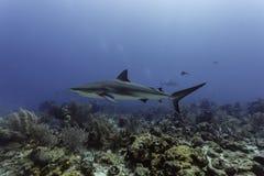 关闭游泳在珊瑚礁的灰色礁石鲨鱼 免版税库存照片