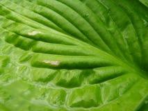 关闭湿绿色玉簪属植物叶子宏观细节  免版税库存图片