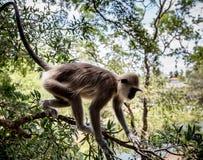 关闭灰色叶猴maonkey 库存照片