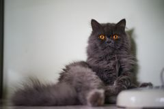 关闭灰色猫开会 库存图片