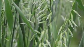 关闭燕麦植物